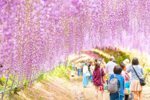 Du lịch Nhật Bản mùa hoa tử đằng – Khám phá đất nước mặt trời mọc mùa lãng mạn nhất trong năm