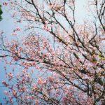 Hấp dẫn Lễ hội Hoa anh đào Đà Lạt tết Đinh Dậu