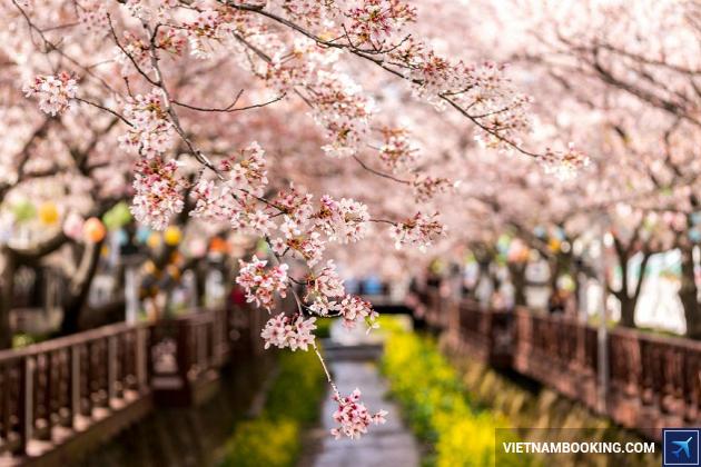 Du lịch Hàn Quốc: Lễ hội Hoa anh đào Seoul - Nami - Everland 5N4Đ