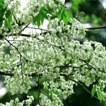 Tháng ba Hà Nội đẹp ngỡ ngàng mùa hoa sưa
