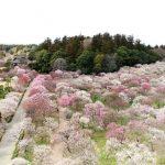 Chiêm ngưỡng vẻ đẹp của vườn Kairakuen mùa hoa mơ