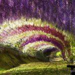 Tháng tư, chiêm ngưỡng hoa tử đằng rực rỡ ở Nhật Bản