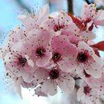Tìm hiểu ý nghĩa và vẻ đẹp hoa đào Nhật Bản