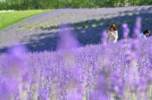 Tour du lịch Nhật Bản mùa hoa Lavender7N6Đ