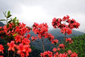 Ngỡ ngàng vẻ đẹp lễ hội hoa đỗ quyên Sa Pa, Đà Lạt