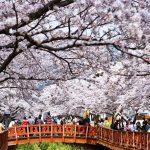 Bí kíp thưởng ngoạn trọn vẹn Seoul vào mùa hoa anh đào