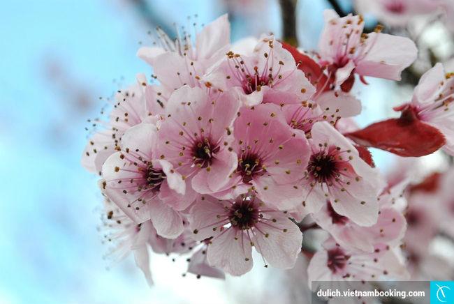 y nghia hoa dao nhat ban
