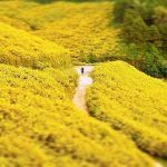 Khám phá 3 loài hoa làm nên vẻ đẹp cho du lịch Đà Lạt tháng 11