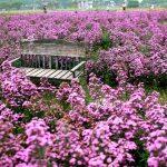 Ngỡ ngàng trước cánh đồng hoa thạch thảo tím đẹp rụng tim ở Hà Nội