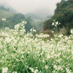 Săn vé máy bay đi Hà Nội ngắm cánh đồng hoa cải Mộc Châu