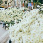 Vé máy bay giá rẻ Pleiku đi Hà Nội ngắm hoa cúc họa mi