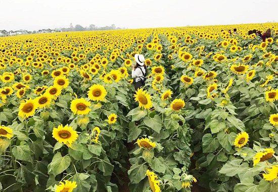 tour ngắm hoa hướng dương xứ nghệ 1n
