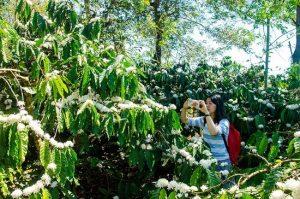 Mua vé đi Buôn Ma Thuột tháng 3, mùa hoa cà phê nở