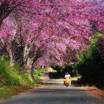 """Tháng 2, mua vé rẻ đi Chiang Mai ngắm """"biển hoa anh đào"""""""