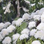 Đặt vé máy bay đi Pleiku: Tháng 3 Gia Lai hoa cà phê trắng rợp trời