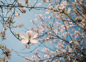 Mùa hoa ban tới rồi, ngại gì không book tour du lịch Điện Biên!