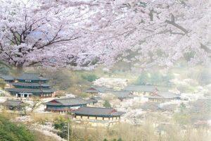 5 lễ hội hoa anh đào nổi tiếng của Hàn Quốc