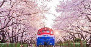 Du Lịch Hàn Quốc Mùa Hoa Anh Đào 2021: Lịch hoa nở và những lễ hội hoa đặc sắc