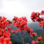 Săn vé giá rẻ đi Hà Nội tháng 4 – lên Sapa ngắm sắc hoa đỗ quyên rực rỡ