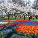 Thưởng ngoạn lễ hội hoa tulip với vé giá rẻ đi Hà Lan tháng 3, 4