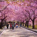Săn vé rẻ đi Tokyo tháng 3, 4 – tận hưởng sắc hoa anh đào nở