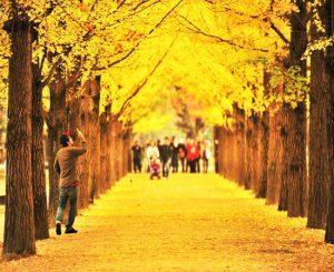 Quên Jeju đi , đến Nami để tận hưởng mùa thu Hàn Quốc