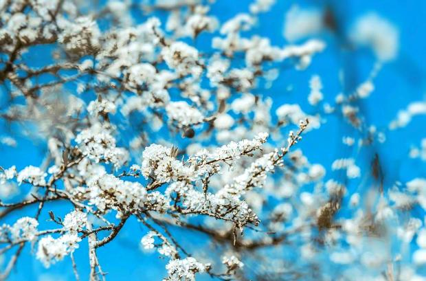 du lịch Mộc Châu mùa hoa mận
