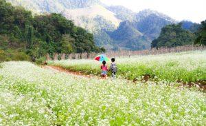 Kinh nghiệm du lịch Mộc Châu mùa hoa cải trắng