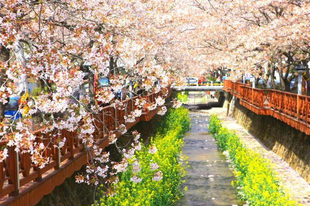 Du lịch Hàn Quốc: Lễ hội Hoa anh đào Seoul – Nami – Everland 5N4Đ