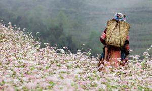 Rực rỡ Mùa hoa Tam Giác Mạch ở Mộc Châu – 2021 có gì mới?