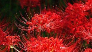 Hoa Bỉ Ngạn ở Đà Lạt – Ý nghĩa và truyền thuyết huyền bí