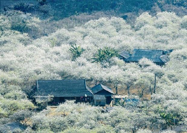 Mộc Châu mùa hoa mận nở