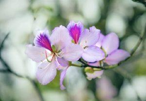 Hoa ban ở Hà Nội đã nở rộ rồi đấy ! Mùa hoa ban năm nay bạn đã check in chưa ?
