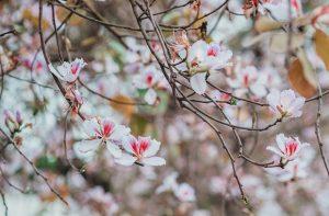 Ngắm hoa ban trắng Mộc Châu ở đâu? Mùa hoa nở đã sắp về rồi