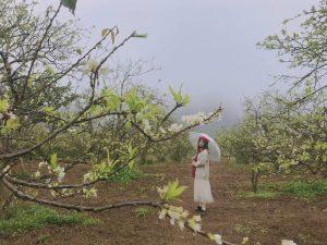 Bỏ túi kinh nghiệm du lịch Mộc Châu tháng 1 đặc sắc | Ngắm mùa hoa mận, hoa cải nở trắng đất trời